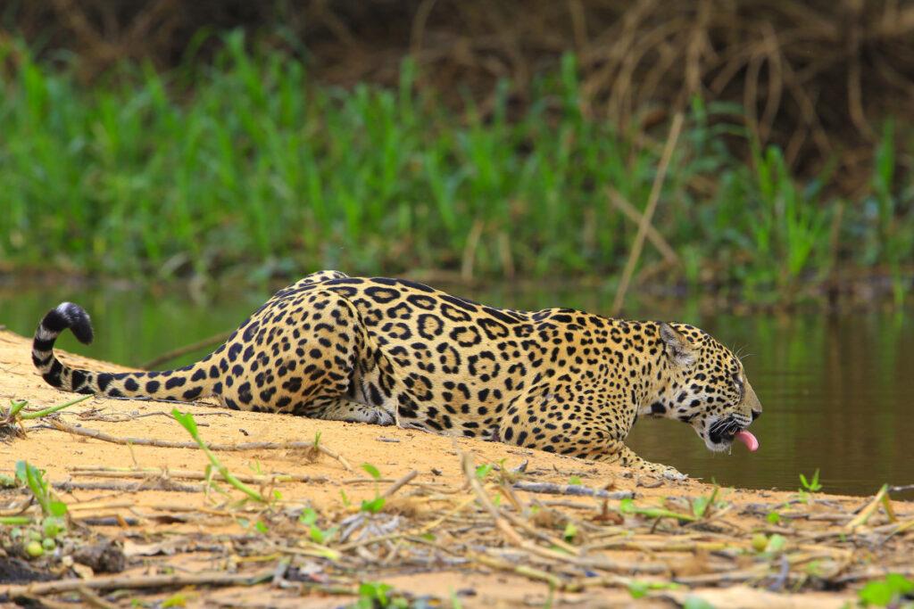 Jaguar tijdens de Fotoreis Brazilië.